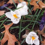 Crocus patch