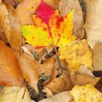 Maple leaf fall color
