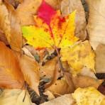 Maple leaf fall color