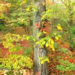 Fall foliage tree